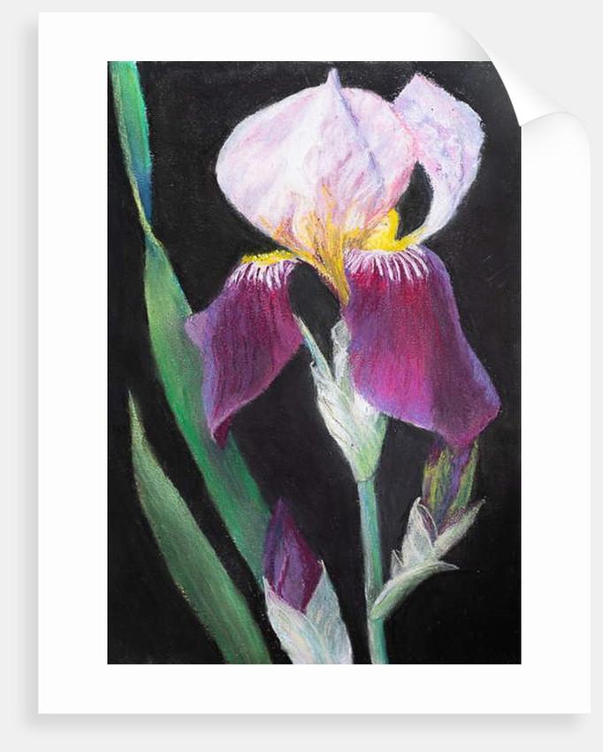 Iris from my garden by Margo Starkey