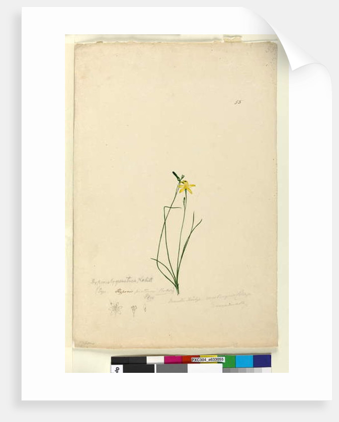 Page 55. Hypoxis hygrometrica, c.1803-06 by John William Lewin