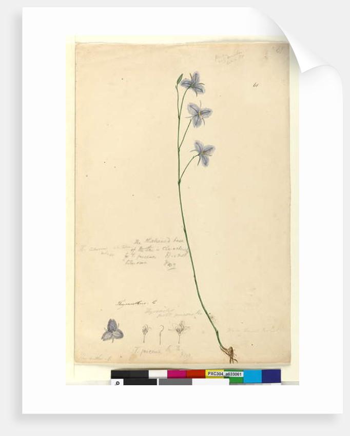 Page 61. Thysanotus, c.1803-06 by John William Lewin