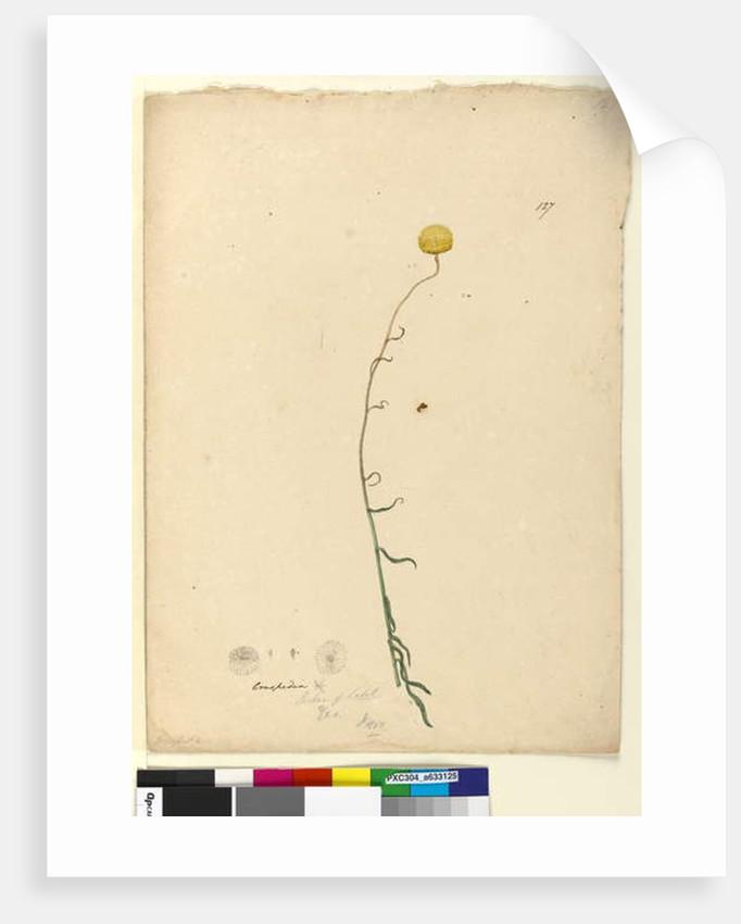Page 127. Craspedia, c.1803-06 by John William Lewin