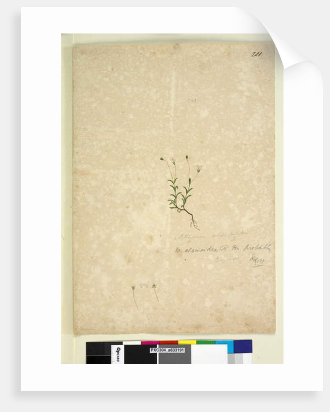 Page 201. Mitrasacme alsinoides, c.1803-06 by John William Lewin