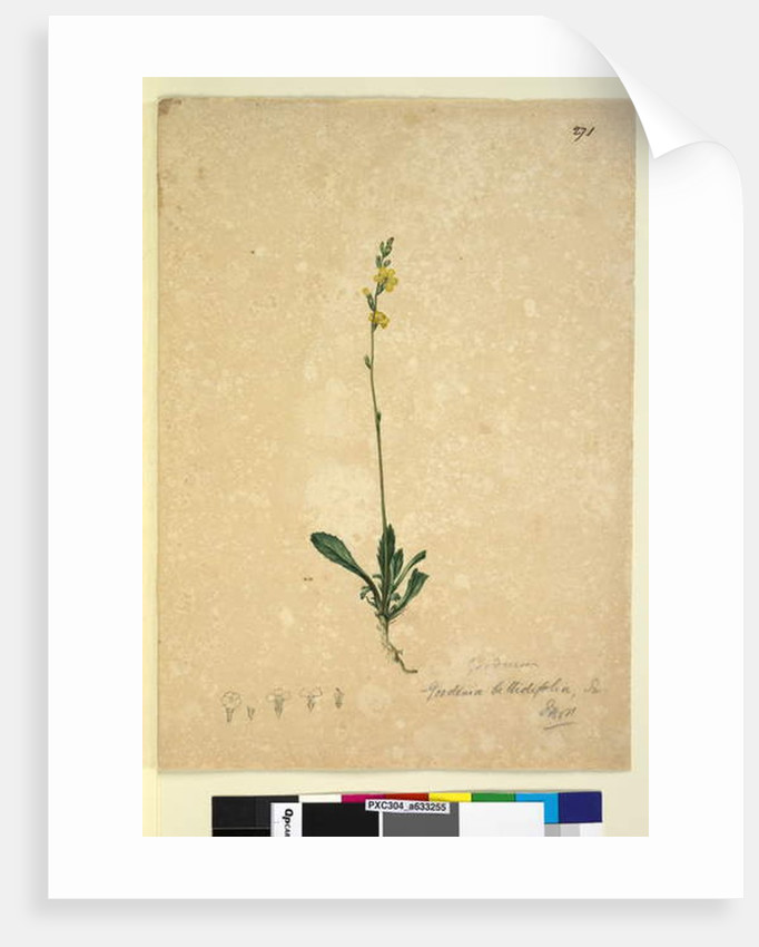 Page 271. Goodenia bellidifolia, c.1803-06 by John William Lewin