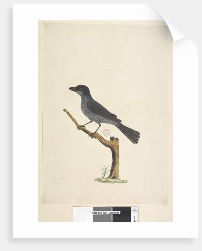 Page 29. Blackbird Norfolk Island Blackbird? Aplonis fuscus, male, 1791-92 by Unknown artist