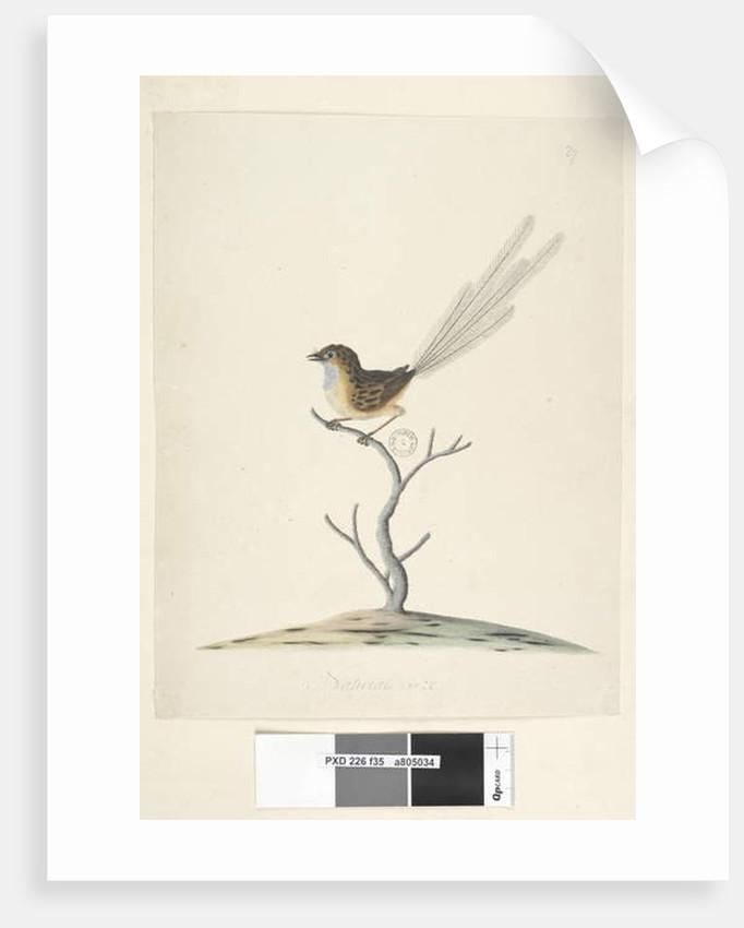 Page 35. Natural size Emu, Wren, male Stipiturus malachurus, 1791-92 by Unknown artist