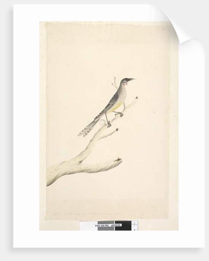 Page 60.  Red Wattle, Bird Anthochaera carunculata by Unknown artist