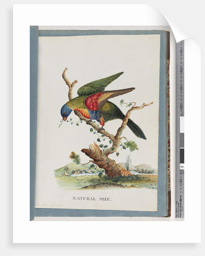 Page 40. Rainbow Lorikeet. Ps. Haematodus. Red-breasted or Blue-bellied Parrot by Unknown artist