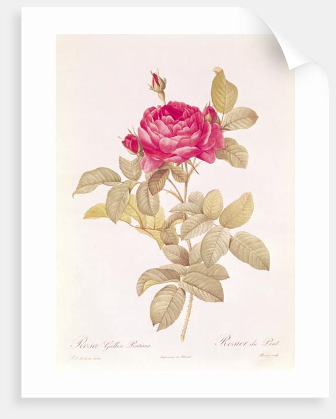 Rosa Gallica Pontiana by Pierre Joseph Redoute