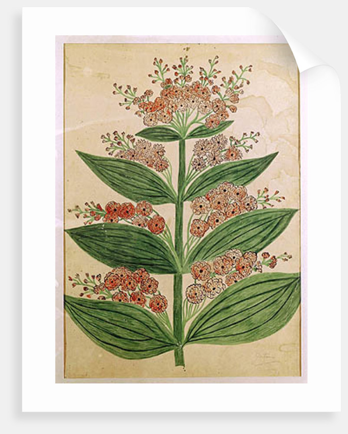 Gentian with imaginary flowers, plate from a seed merchants in Oisans by French School