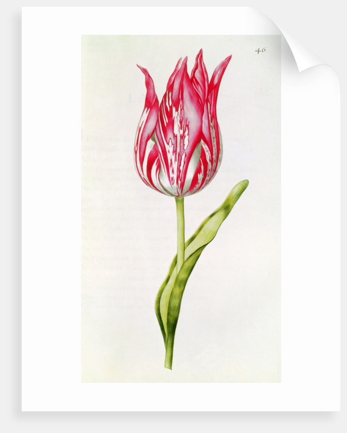 Tulip by Nicolas Robert