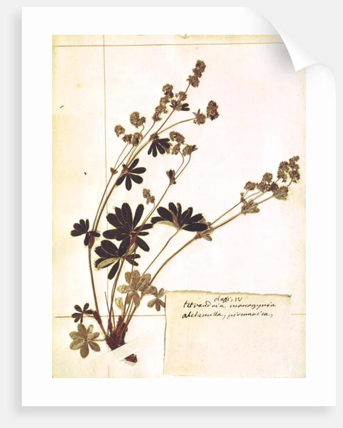 Alchemilla by Jean Jacques Rousseau