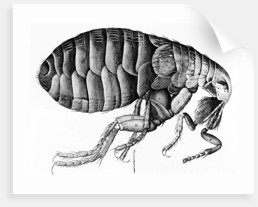 A Flea from Microscope Observation by Robert Hooke by English School