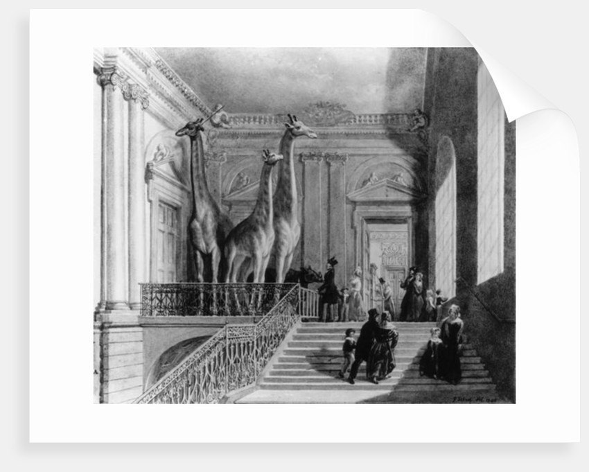 Giraffes on the staircase in the British Museum by George the Elder Scharf