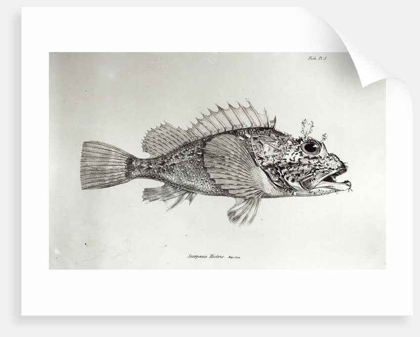 Scorpion Fish by English School