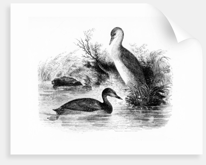 The Little Grebe, or Dabchick by William Yarrell