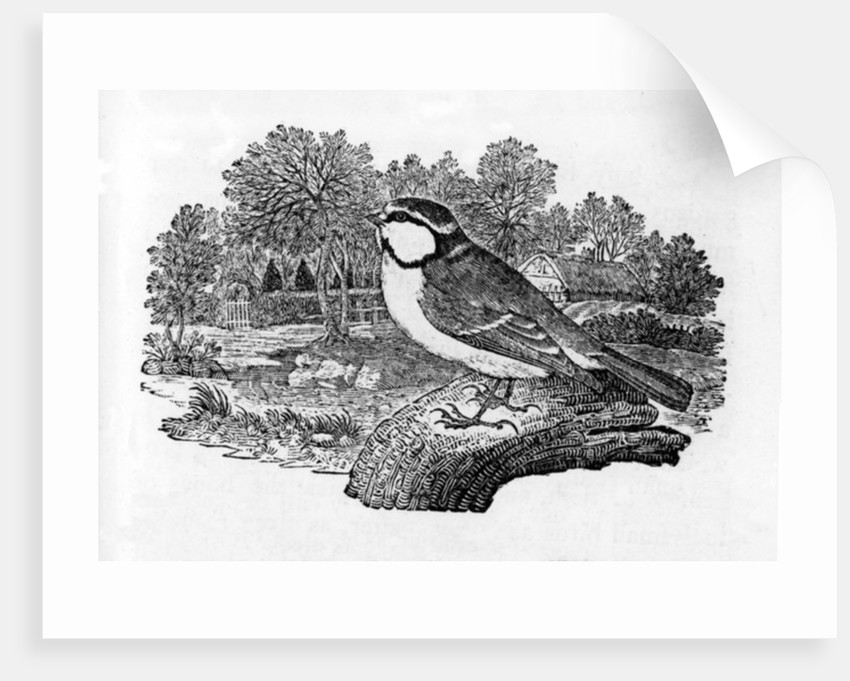 The Blue Titmouse by Thomas Bewick