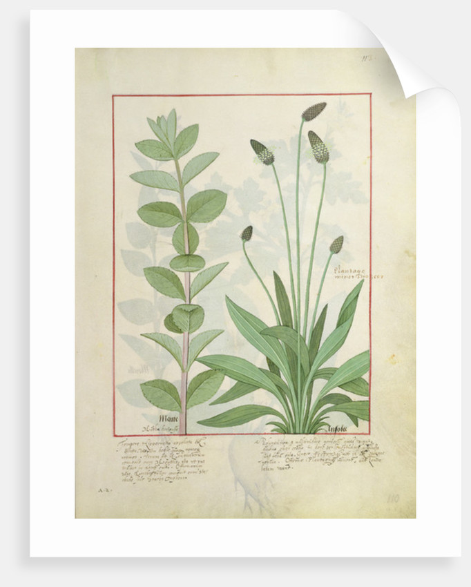 Mint and Plantain, or Ribwort by Robinet Testard