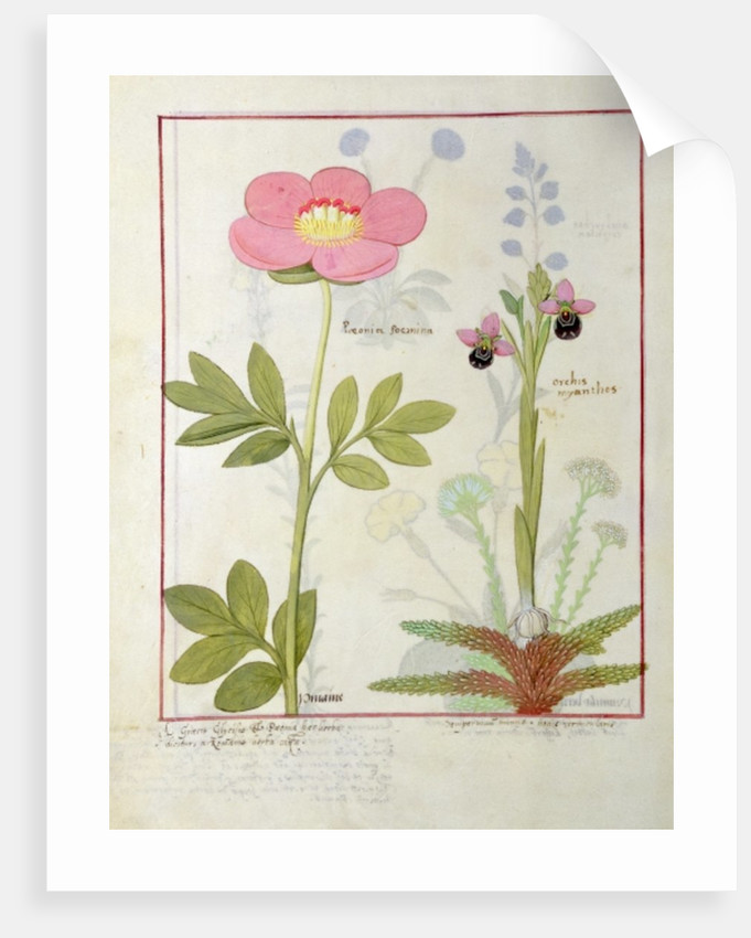 Paeonia or Peony, and Orchis myanthos by Robinet Testard