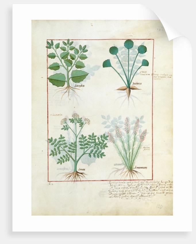 Salt Bush and Anthora. Absinthium and Cardamom by Robinet Testard