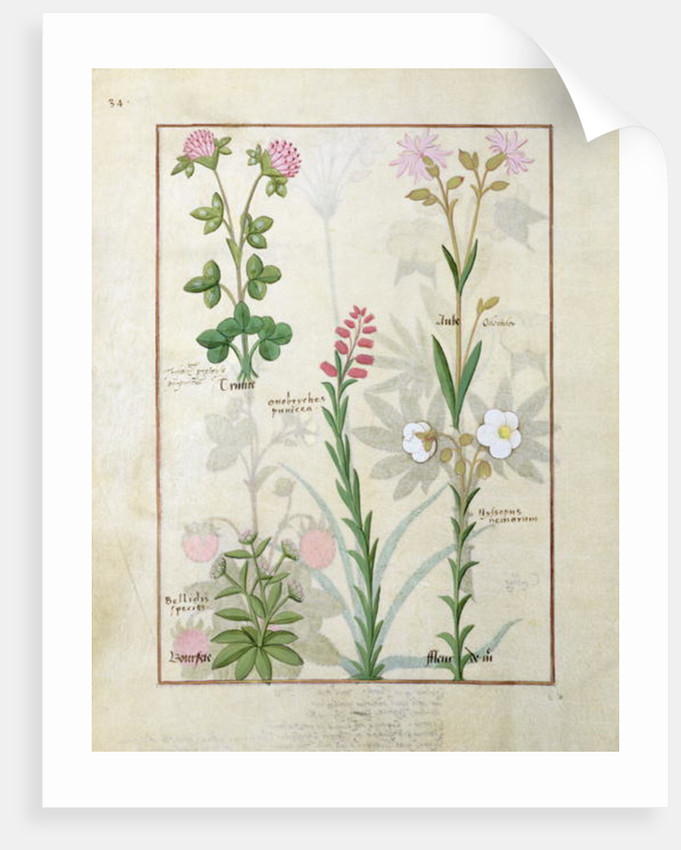 Top row: Red clover and Aube. Bottom row: Bellidis species, Onobrychis and Hyssopus nemorum by Robinet Testard