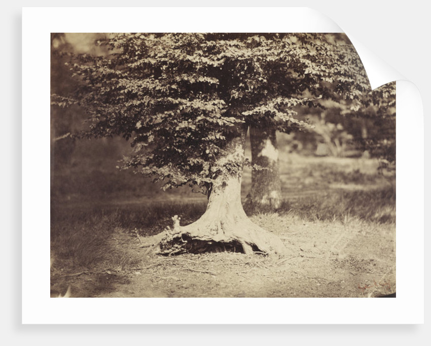 The Beech Tree by Gustave Le Gray
