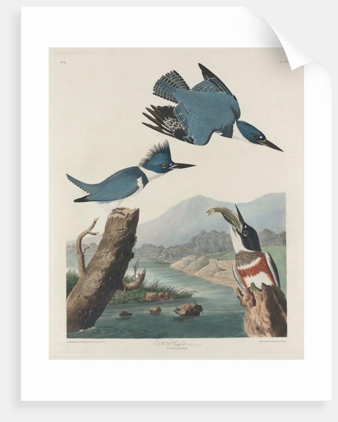 Belted Kingsfisher by John James Audubon