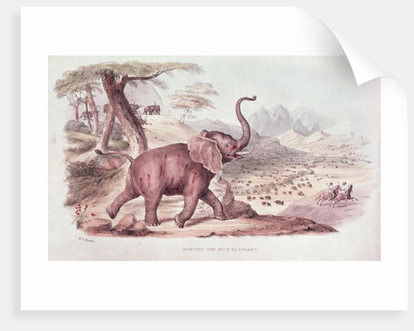 Hunting the Wild Elephant, illustration from 'Wild Sports of South Africa' by W.C. Harris by William Cornwallis Harris