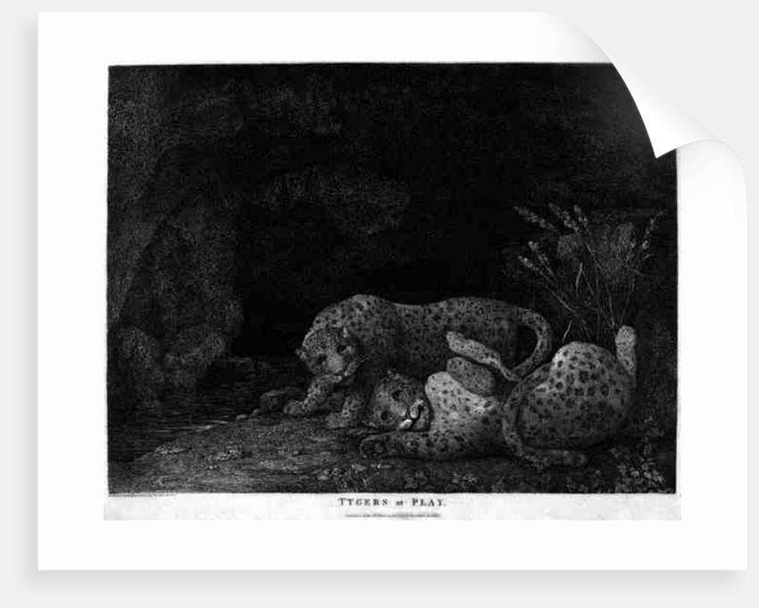 Tygers at Play, engraved by the artist by George Stubbs
