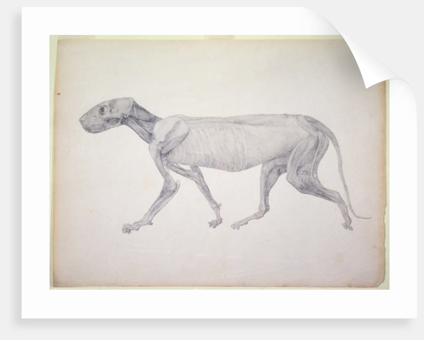 Tiger: Lateral View, Partially Dissected by George Stubbs