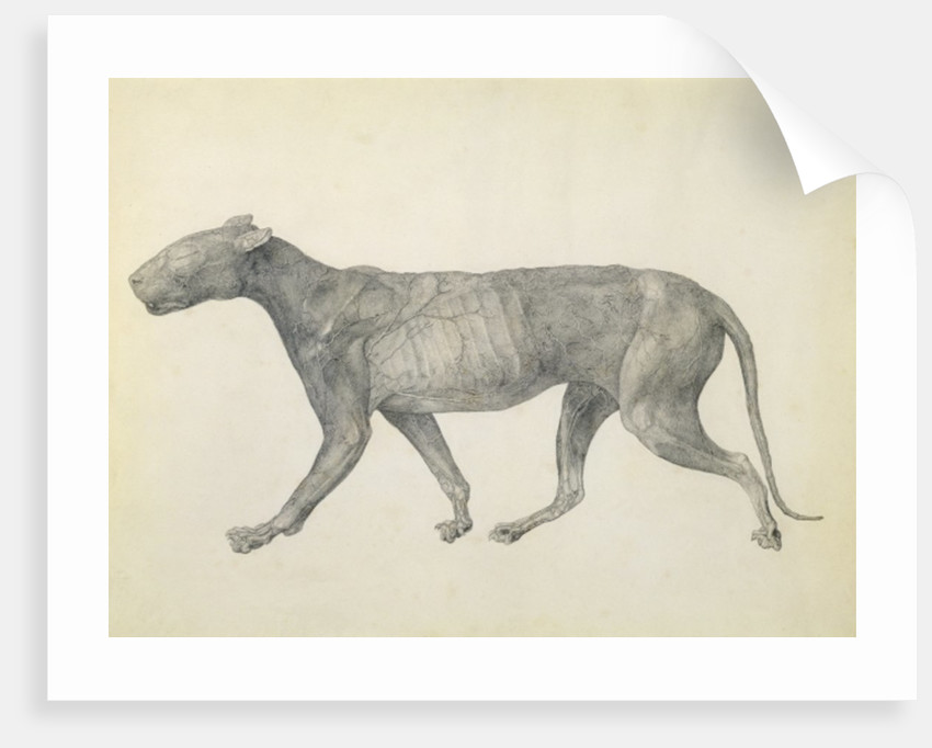 Tiger: Lateral View, with Skin and Tissue Removed by George Stubbs