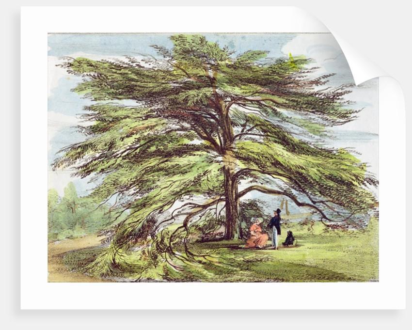 The Lebanon Cedar Tree in the Arboretum, Kew Gardens by George Ernest Papendiek