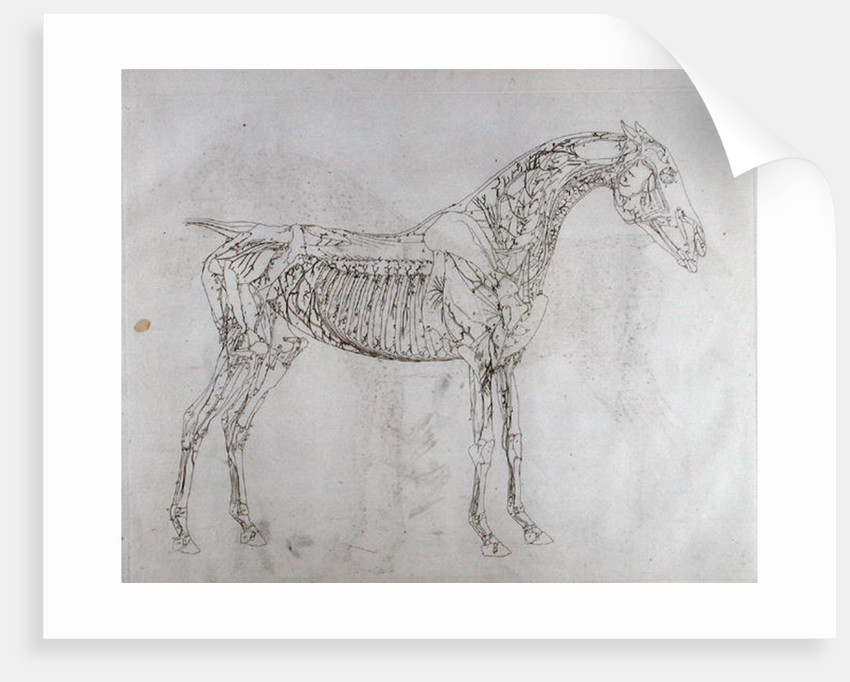 Illustration from \'The Anatomy of the Horse, including a particular ...