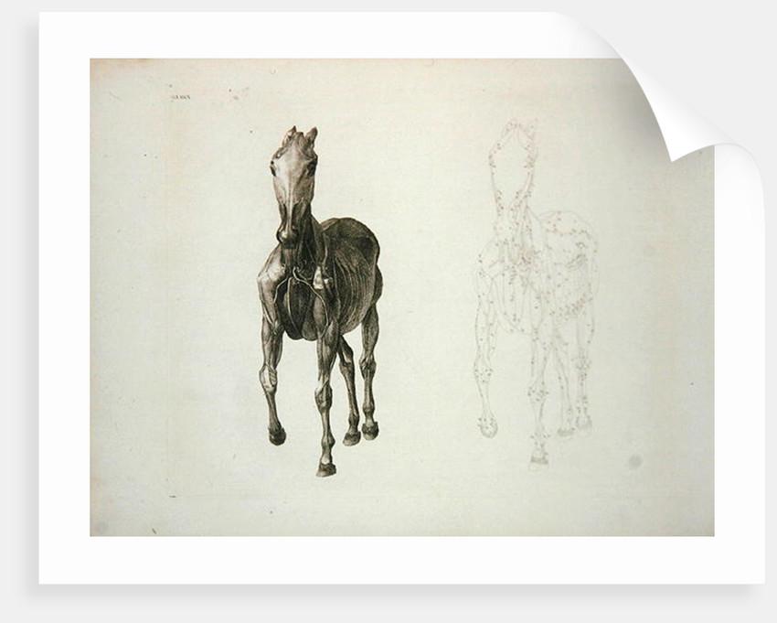 Tab. VIII by George Stubbs