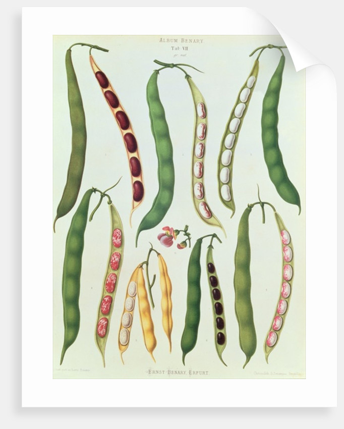 Beans by Ernst Benary