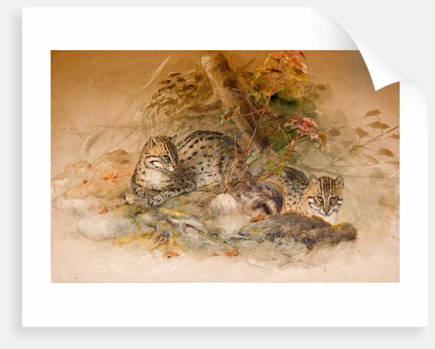 Wagati Cat, 1851-69 by Joseph Wolf