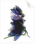 Delphinium Dance by Julia McLemore