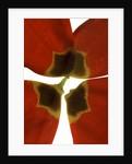 Rittenhouse Tulip I by Julia McLemore