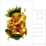 Chiquita Sunflower by Julia McLemore