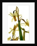 Daffodil Stand by Julia McLemore