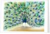 Peacock in San Diego 2 by Nancy Moniz Charalambous