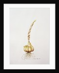 garlic by Alison Cooper