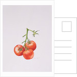 Three Tomatoes on the Vine by Alison Cooper