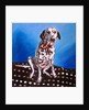 Dalmatian on spotty cushion by Helen White