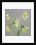 Hellebores by Mary Mabbutt