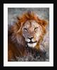 Lion, Ol Pejeta, 2017 by Eric Meyer