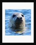 Young Grey Seal, Westcove by Eric Meyer