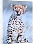 Young cheetah, 2019 by Eric Meyer