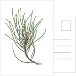Pine Spray 1, 2013 by Faisal Khouja
