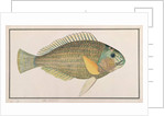 Green Wrasse by Chinese School