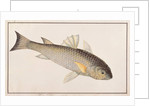 Grey Mullet by Chinese School