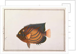Blue-ringed Angelfish by Chinese School